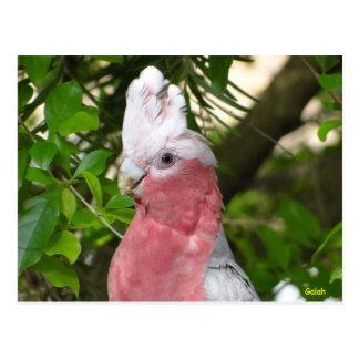 Galah (Rose Breasted/rosa Cockatoo) Postkarte