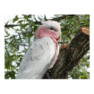 Galah (Rose Breasted/rosa Cockatoo) Postkarte