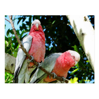 Galahs (Rose Breasted/rosa Cockatoos) Postkarte