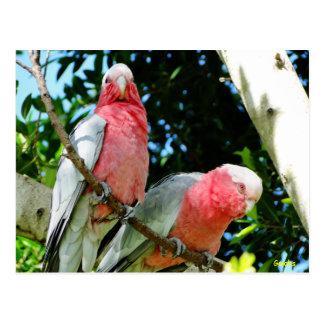 Galahs (Rose Breasted/rosa Cockatoos) Postkarte