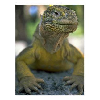 Galapagos-Land-Leguan Postkarte