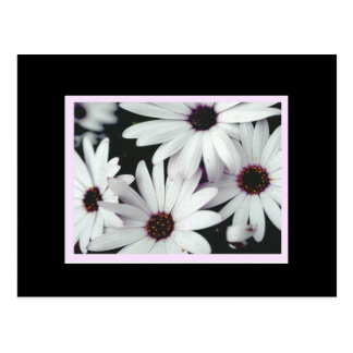 Gänseblümchen auf schwarzem Hintergrund und rosa Postkarte