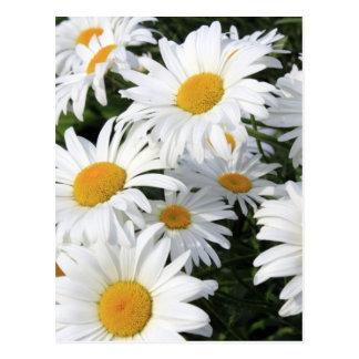 Gänseblümchen-Blumen, die weiß wachsen Postkarte