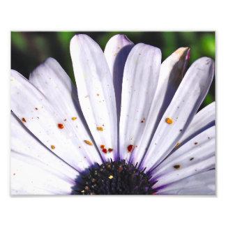 Gänseblümchen Fotos