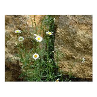 Gänseblümchen in den Steinen Postkarte
