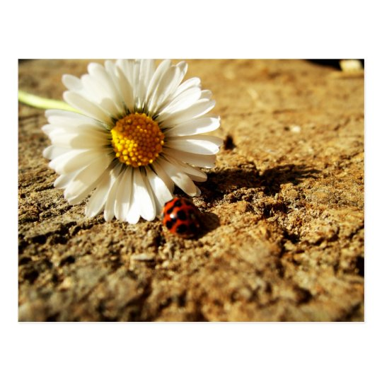 Gänseblümchen und Marienkäfer Postkarte