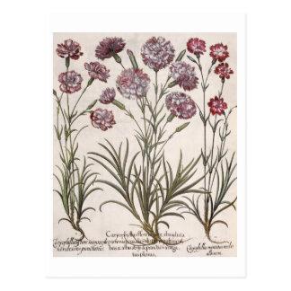 Gartennelken: flore 1.Caryophyllus majore; 2. Cary Postkarte