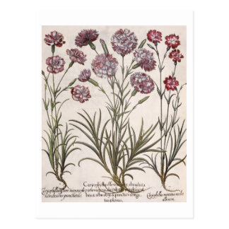 Gartennelken: flore 1.Caryophyllus majore; 2. Postkarten
