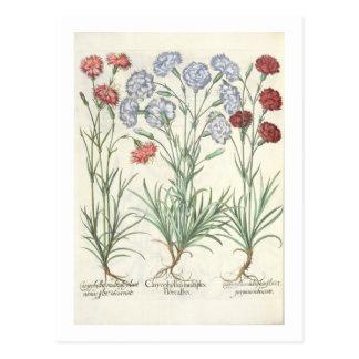 Gartennelken: Multiplexflore 1.Caryophyllus albo; Postkarte