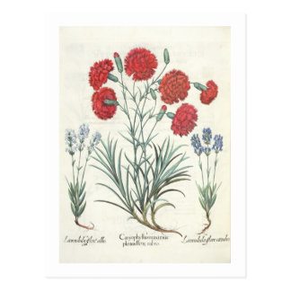 Gartennelken und Lavendel: 1.Caryophyllus maximus Postkarte
