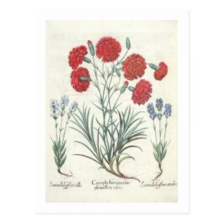 Gartennelken und Lavendel: 1.Caryophyllus maximus Postkarten