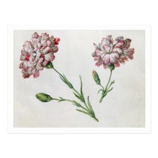 Gartennelken (w/c auf Papier) Postkarten