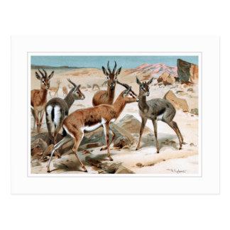 Gazelle Postkarte