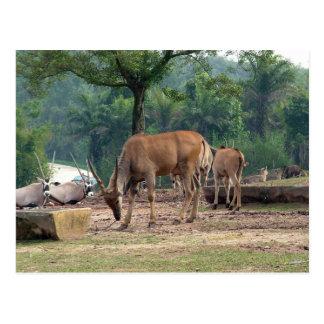 Gazelle, Zoo des wilden Tieres, 羚. Postkarte