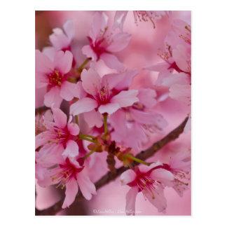 Gebadet in den rosa japanischen Kirschblüten Postkarte