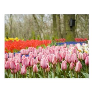 Gehende Holländer? Tulpekarte Postkarte