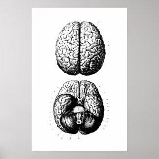 Gehirn-Anatomie-Illustrations-Plakat Poster