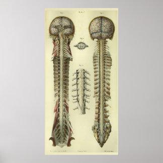 Gehirn-Rückenmark-Nerven-Anatomie-Druck 1866 Poster