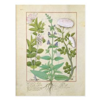Geißblatt, Salbei und Rose Postkarte