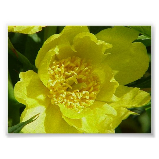 gelbe baum pfingstrose paeonia lutea poster zazzle. Black Bedroom Furniture Sets. Home Design Ideas