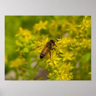 Gelbe Blumen-und Honig-Biene Maleny 2016 Poster