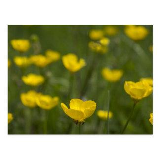 Gelbe Butterblume-Blumen Postkarte