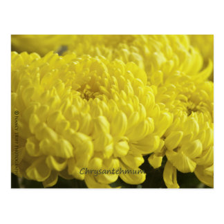 Gelbe Chrysantheme-Makrophotographie Postkarte