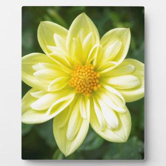 Gelbe Dahlie Fotoplatte