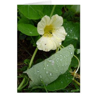 Gelbe Garten-Kapuzinerkäse-Blume Karte