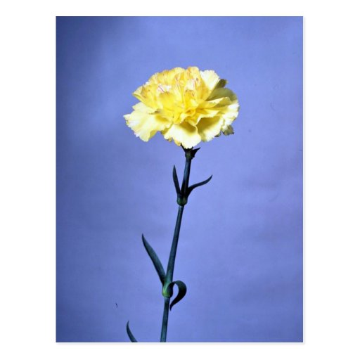 Gelbe Gartennelke Postkarte