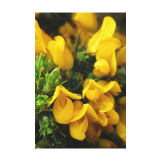 Gelbe immergrüne Blumen Leinwanddruck