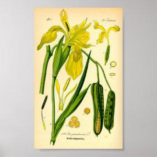 Gelbe Iris (Iris pseudacorus) Poster