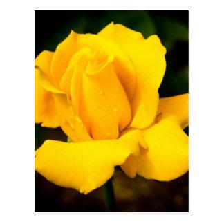 Gelbe Rose - nach dem Regen Postkarte