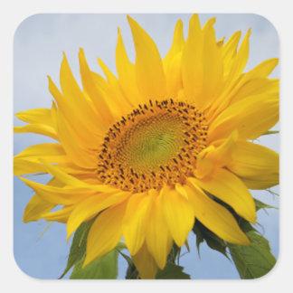 Gelbe Sonnenblume-blauer mit Quadrat-Aufkleber