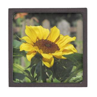 Gelbe Sonnenblume des Singles mit grünem Blätter Schmuckkiste