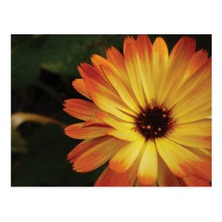 Gelbe und orange Topf-Ringelblume Postkarte