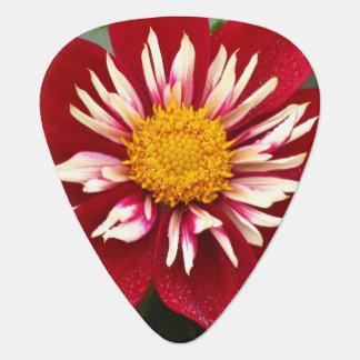Gelbe weiße rote Dalia-Blume Plektron