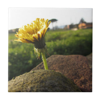 Gelbe Wildblume, die auf Steinen am Fliese