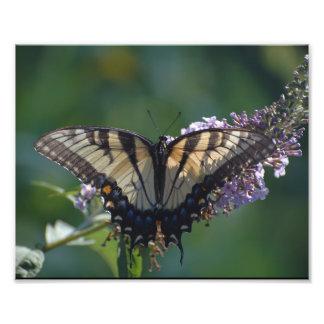 Gelber Frack-Schmetterling Fotodruck