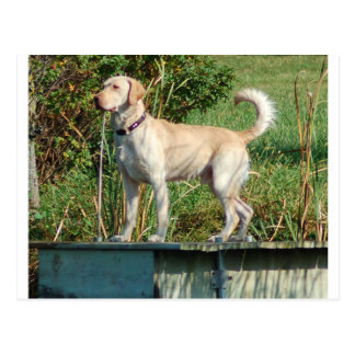 Gelber Labrador Postkarte