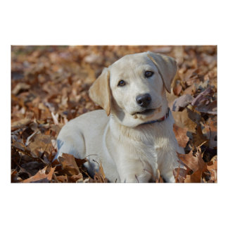 Gelber Labrador-Retriever-Welpe im Blätter Poster