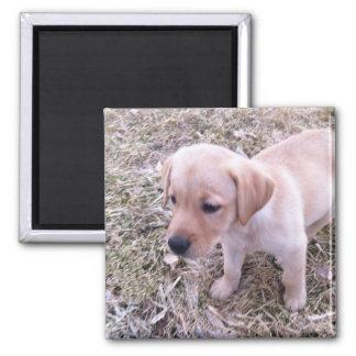 Gelber Labrador retriever-Welpen-Magnet Quadratischer Magnet