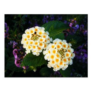 Gelber und weißer Lantana Postkarte