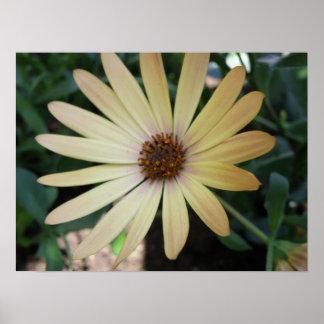Gelbes Regen-Gänseblümchen-Makrodruck Poster