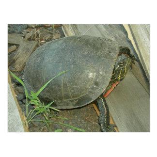 Gemalte Schildkröte (Chrysemys picta) Postkarte
