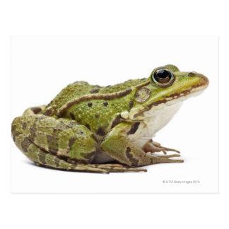 Gemeiner europäischer Frosch oder essbarer Frosch Postkarte
