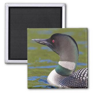Gemeiner Loon im Wasser, Kanada Quadratischer Magnet