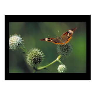 Gemeiner Rosskastanien-Schmetterling Postkarte