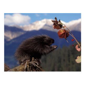 Gemeines Stachelschwein, das alaskische hohe Postkarte