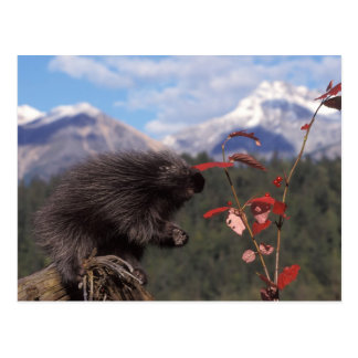 Gemeines Stachelschwein, das auf hoher Postkarte